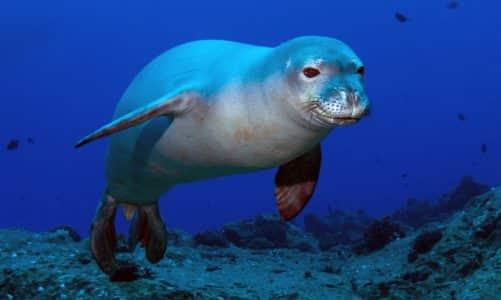 Sredozemna medvjedica – hrvatski morski čovik