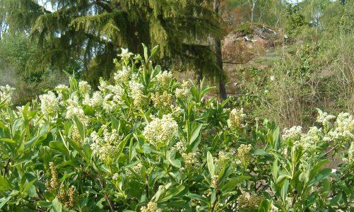 Hrvatska sibireja – endemska vrsta otporna na sve uvjete