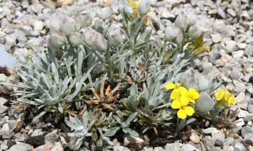 Velebitska degenija – nježna biljka planinskih izvora