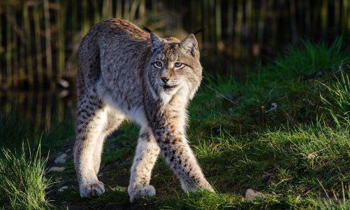 Ris – najtajnovitija vrsta mačke u Hrvatskoj