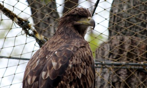 Orao štekavac – veličanstveni čuvar gnijezda