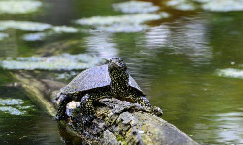 Barska kornjača – plahi stanovnik slatkih voda