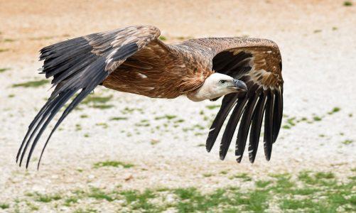 Bjeloglavi sup – najveća ptica u Hrvatskoj