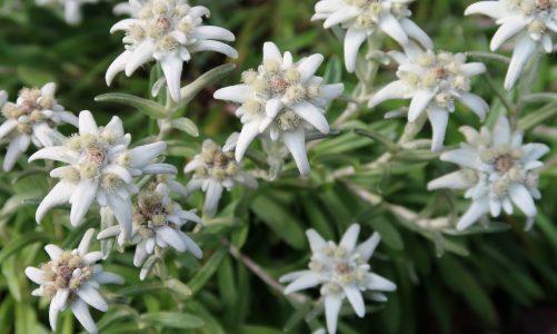Runolist – ljekovita zvijezda