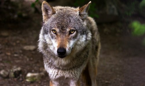 Sivi vuk – nedodirljivi vladar čopora