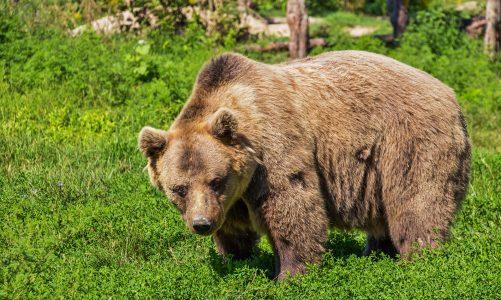 Smeđi medvjed – div koji vlada šumom