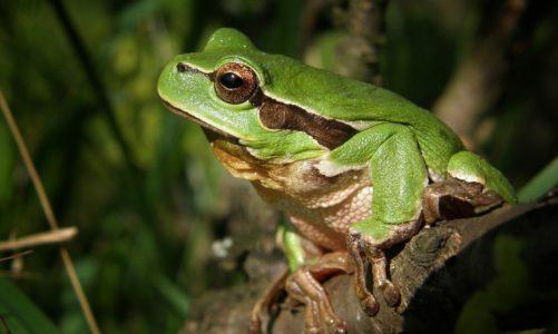 Gatalinka – najmanja žaba Hrvatske