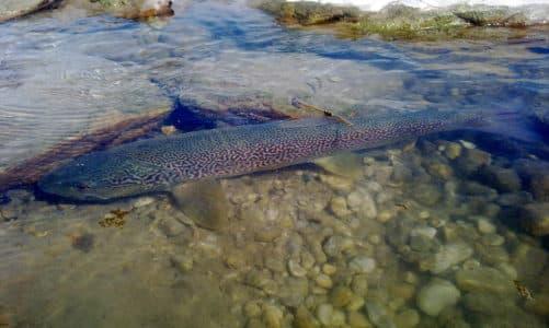 Glavatica – mramorna riba Balkana
