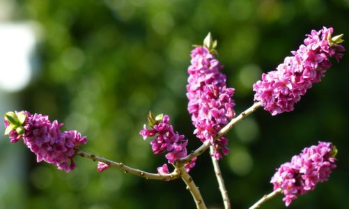 Obični likovac – otrovna biljka pod zaštitom