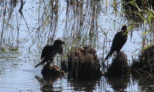Mali vranac – najmanji europski vranac