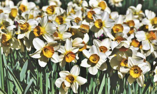 Višecvjetni narcis – cvijet izrastao iz legende