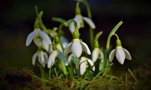 Visibaba – prvi i najljepši vjesnik proljeća
