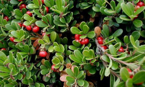 Zimzelena medvjetka – stoljetna zelena biljka