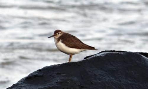Mala prutka – ptica nemirnog repa