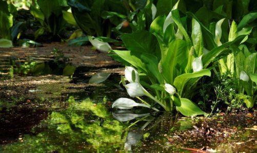 Močvarni zmijinac – kritično ugrožena biljka Gorskog kotara