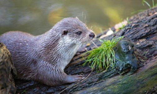 Vidra – brkati stanovnik rijeka i jezera