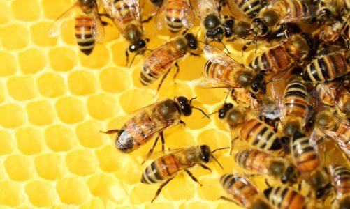 Svijet pčela: nestajanje pčela je ozbiljan udarac za naš planet